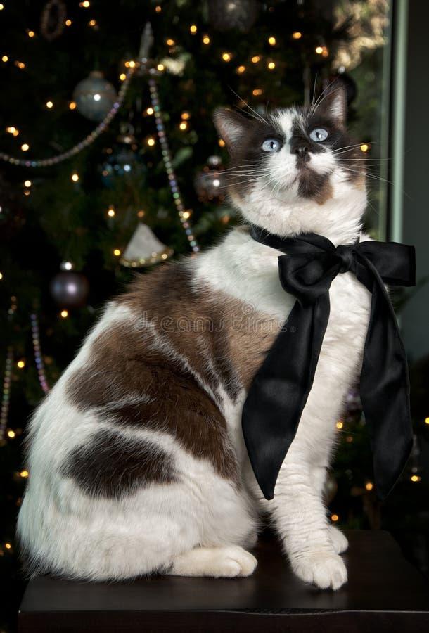Siamesische Katze-Portrait stockbilder