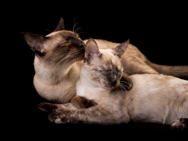 Siamesische Katze Tortie-Punktes, die ein gutes Säubern von einem Schokoladenpunkt erhält stockfotos