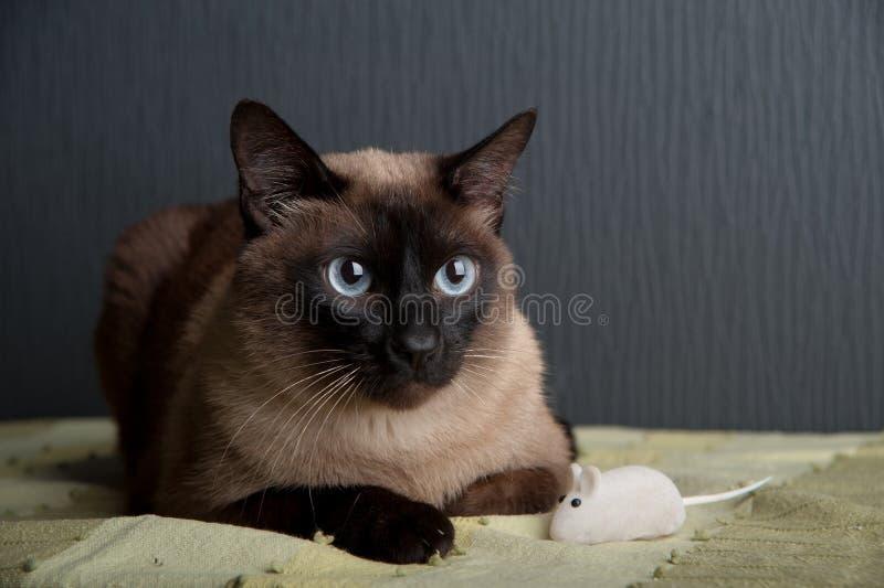 Siamesische Katze, welche die Kamera betrachtet stockfoto