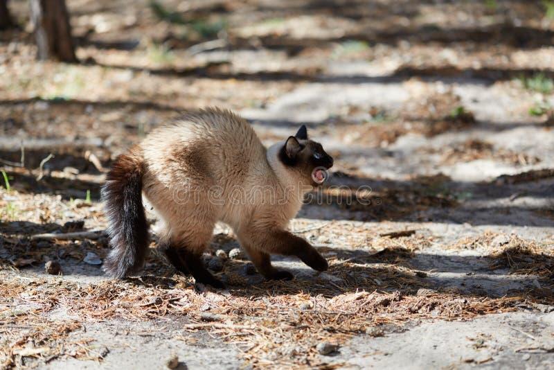 Siamesische Katze wurde erschrocken und zischt im Wald lizenzfreie stockfotos
