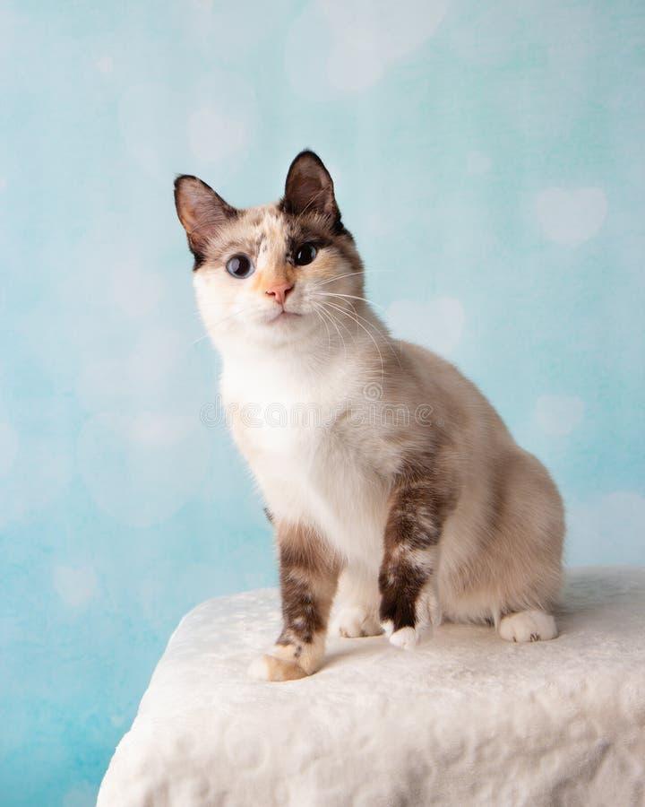 Siamesische Mischungs-Katze im Studio-Porträt lizenzfreie stockbilder