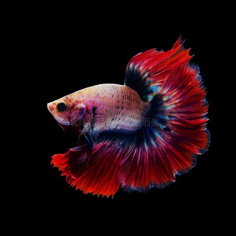 Siamesische rote kämpfende Fische lokalisiert auf Schwarzem stockbild
