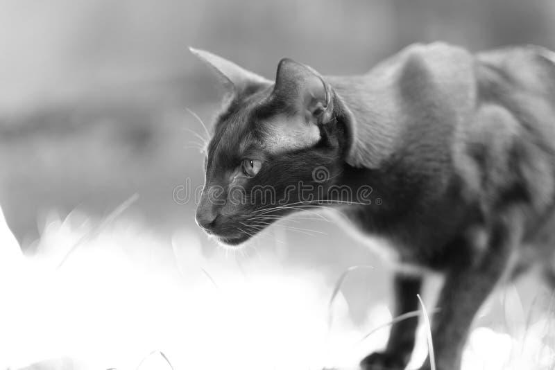 Siamesische Zucht der erwachsenen Haustierkatze stockbild