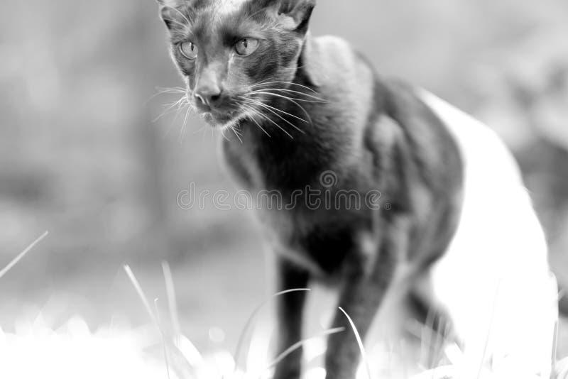 Siamesische Zucht der erwachsenen Haustierkatze stockfoto
