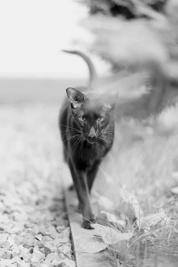 Siamesische Zucht der erwachsenen Haustierkatze lizenzfreies stockbild