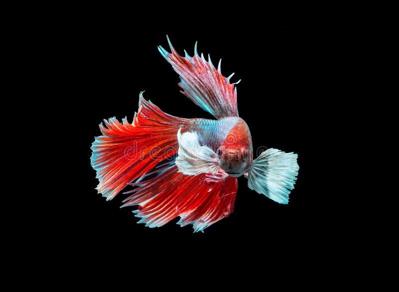 Siamesischer Kampffisch auf Schwarzem lizenzfreie stockbilder
