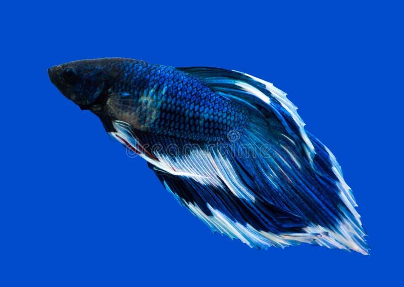 Siamesischer Kampffisch auf Schwarzem lizenzfreie stockfotografie