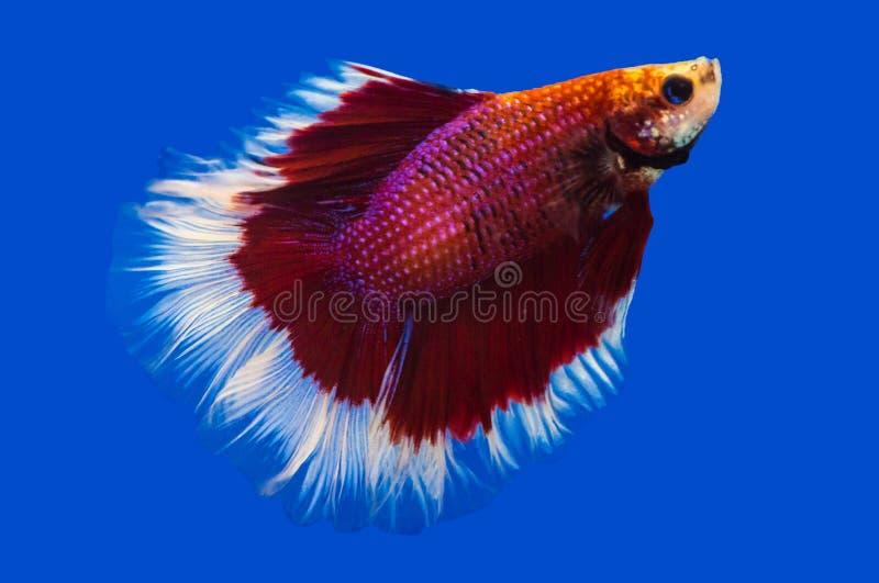 Siamesischer Kampffisch auf Schwarzem lizenzfreie stockfotos