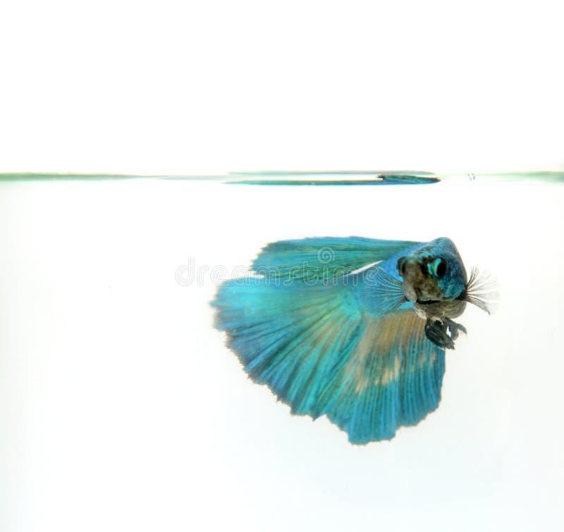 Siamesischer Kampffisch, betta splendens, Halbmond Betta-Schwimmen im klaren Wasser lizenzfreie stockbilder