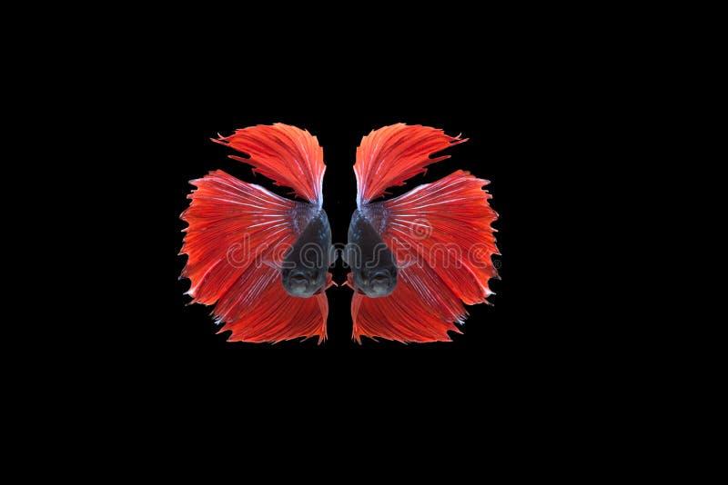Siamesischer Kampffisch lokalisiert auf schwarzem Hintergrund-, Rotem und Blauemhalbmond betta Fisch stockfoto