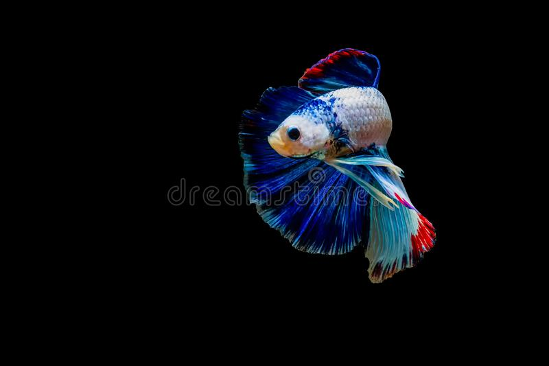 Siamesischer Kampffisch lokalisiert mit schwarzem Hintergrund lizenzfreies stockbild