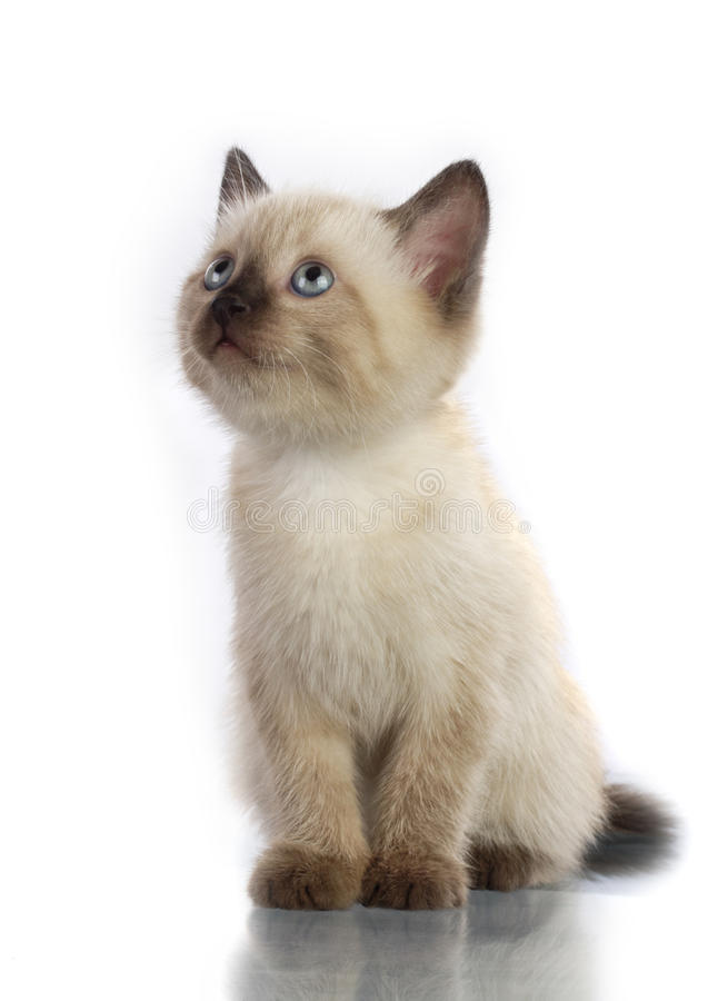Siamesisches Kätzchen lizenzfreie stockfotografie
