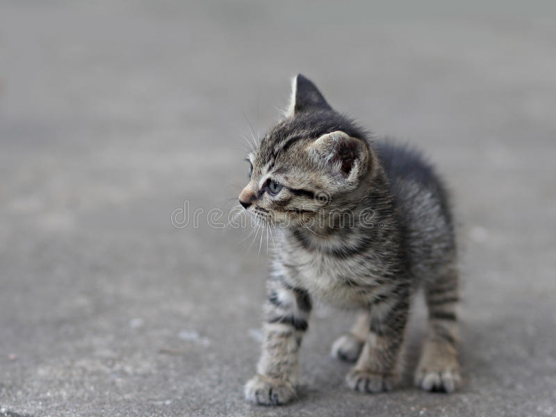 Siamesisches Kätzchen stockfotografie