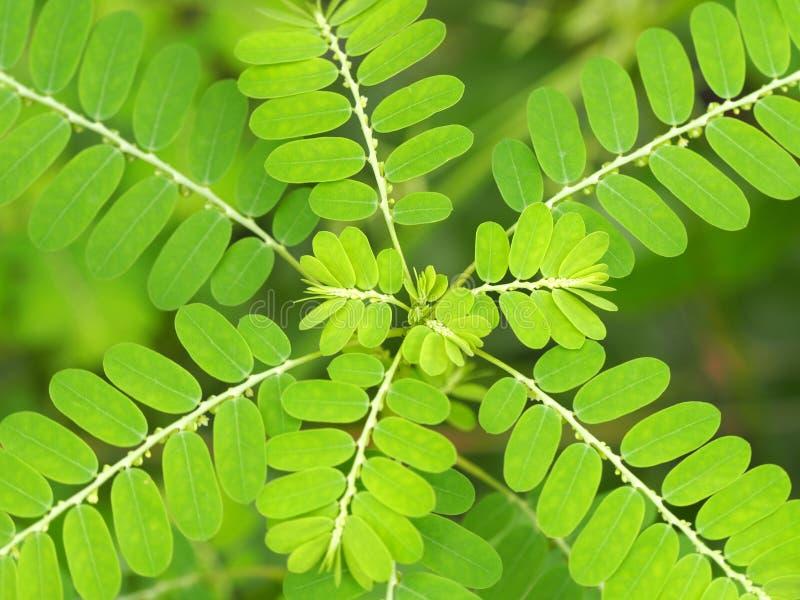 Siamesisches Kraut Chamberbitter, gripeweed, shatterstone, stonebreaker, leafflower oder kleine Mimose in Phyllanthus-urinaria lizenzfreie stockfotos