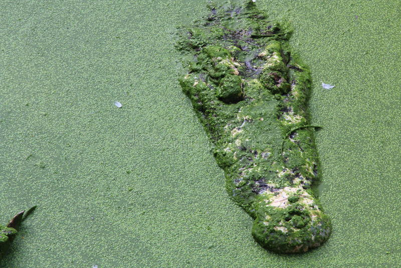 Siamesisches Krokodil stockfotos