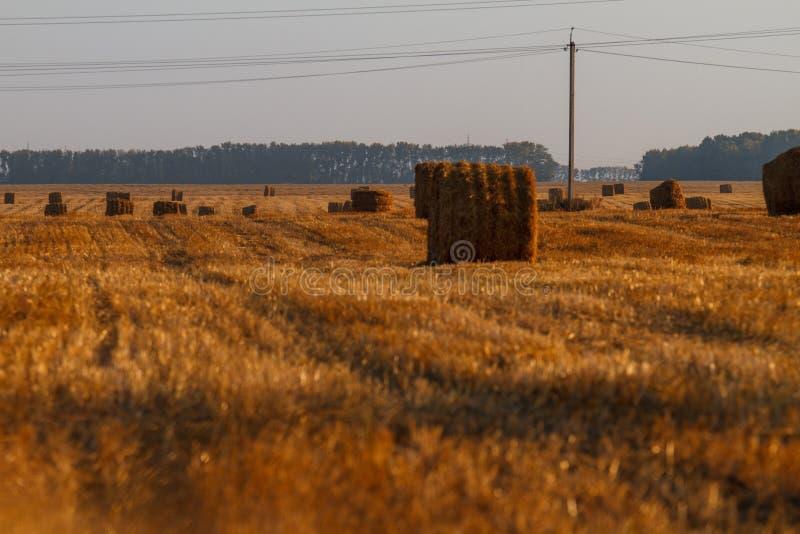 Siano kaucja zbiera w złotym pole krajobrazie fotografia royalty free