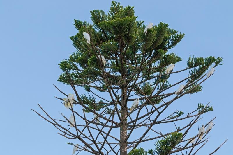 Siarczani czubaci kakadu ptaki umieszcza na sośnie obrazy stock