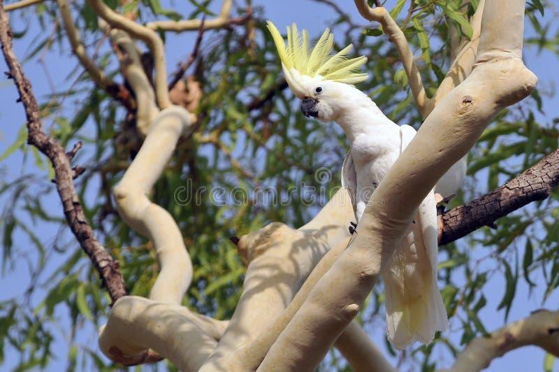 Siarczany czubaty kakadu Cacatua galerita Australia fotografia royalty free