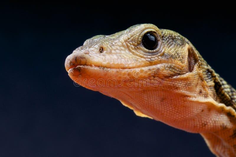 Siarka monitor, Varanus melinus/ fotografia royalty free