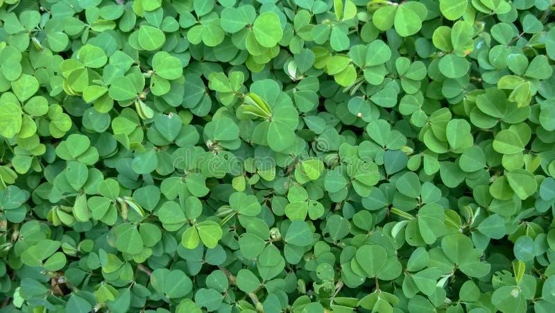 Siatic Pennywort, è una pianta di cui ha indicato nel trattamento fotografie stock