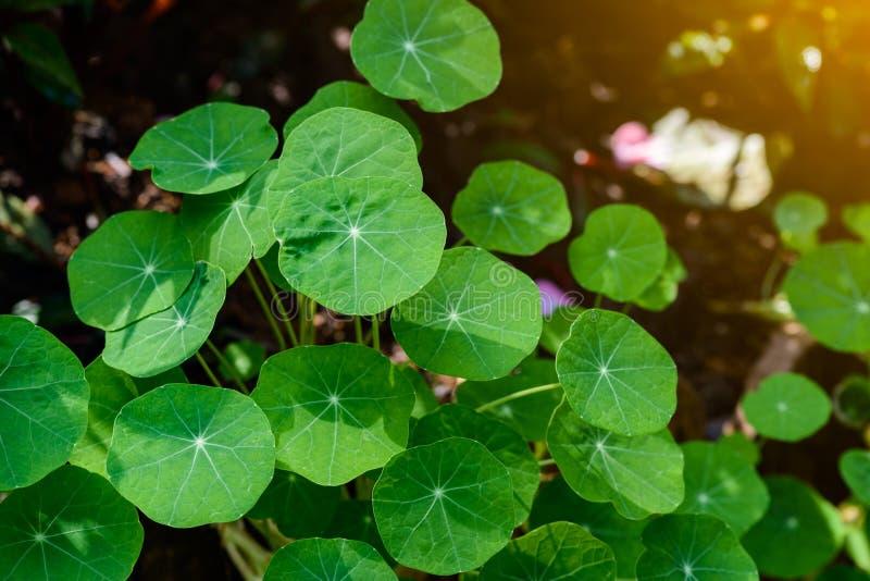 Siatic Pennywort, é uma planta de que indique no tratamento foto de stock