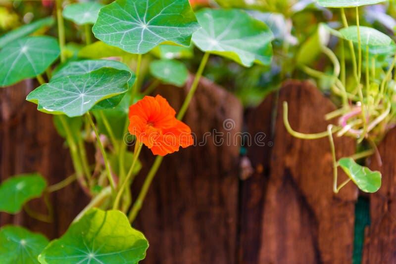 Siatic Pennywort, é uma planta de que indique no tratamento fotografia de stock royalty free