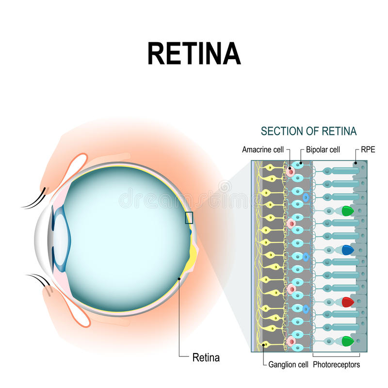 Siatkówkowe komórki: prącie i szyszkowe komórki royalty ilustracja