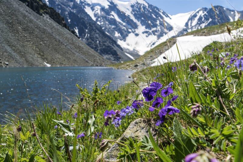 sibéria altai Vista no vale verde Montanhas verdes, flores azuis do céu, as roxas e as azuis, rio pequeno calmo fotografia de stock