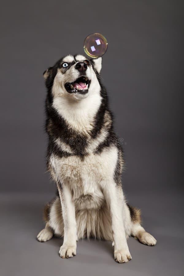 Sibérien Husky Studio Portrait avec la bulle de flottement images stock