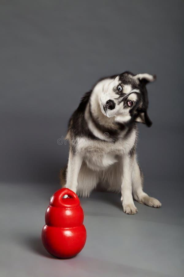 Sibérien Husky Studio Portrait Shaking Head avec le jouet photographie stock libre de droits