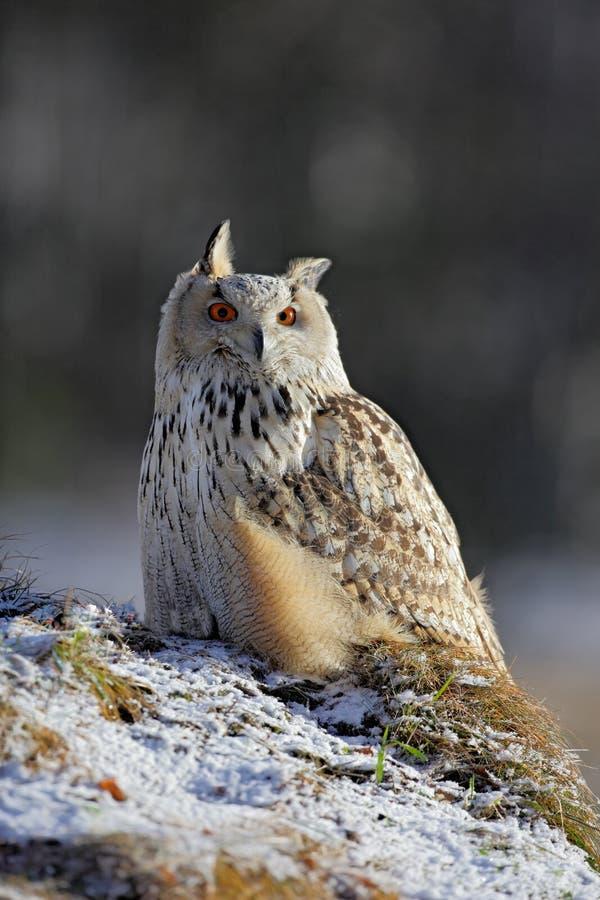 Sibérien oriental Eagle Owl, sibiricus de bubo de Bubo, se reposant sur le mamelon avec la neige dans la forêt, scène d'hiver photographie stock