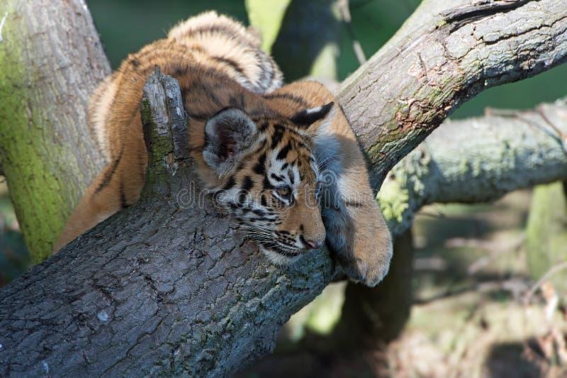 Sibérien Tiger Cub (Panthera Tigris Altaica) photo libre de droits