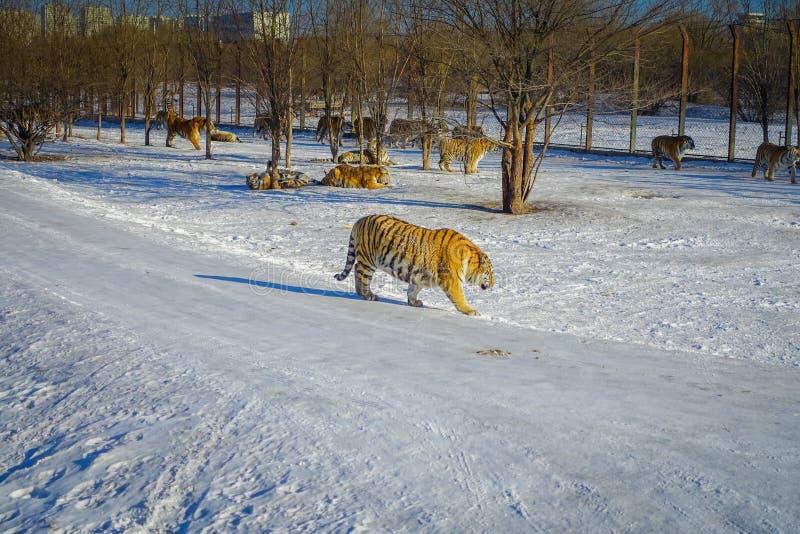 Sibérien Tiger Park à Harbin, Chine photo stock