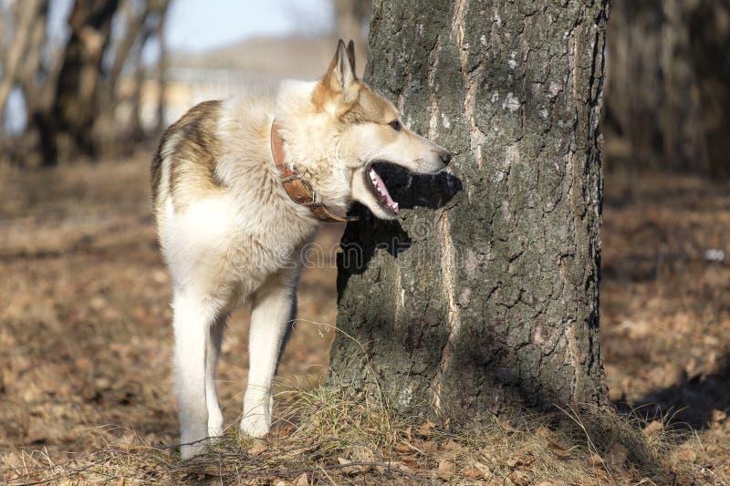 Sib?rien est Laika observant dans des bois - chien de chasse souple parfait Chien sibérien avec les supports ouverts de bouche en photo libre de droits
