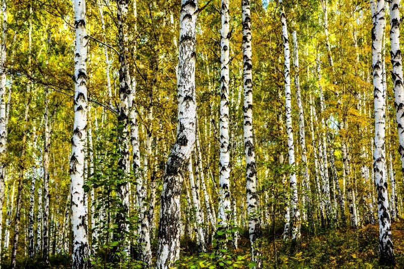 Siberia, Irkutsk, arboleda del abedul del otoño fotos de archivo