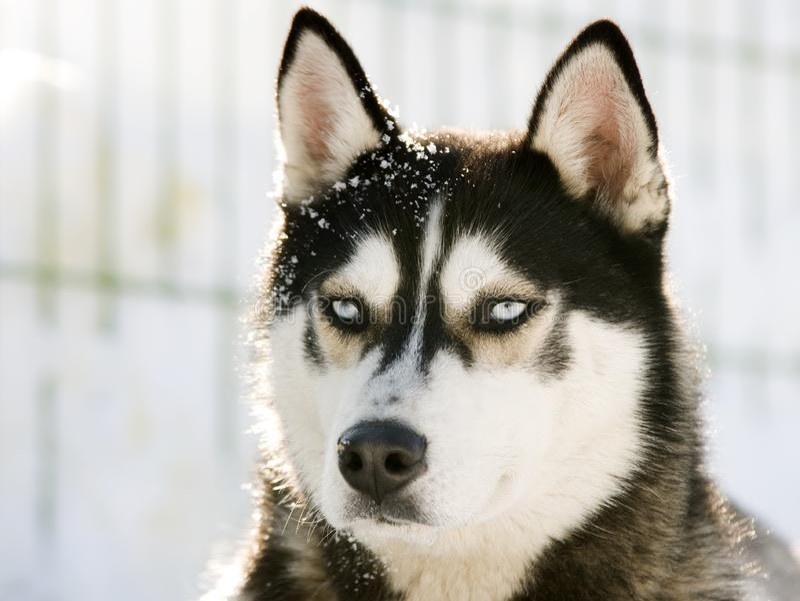 Siberian лайка в снежке стоковое изображение