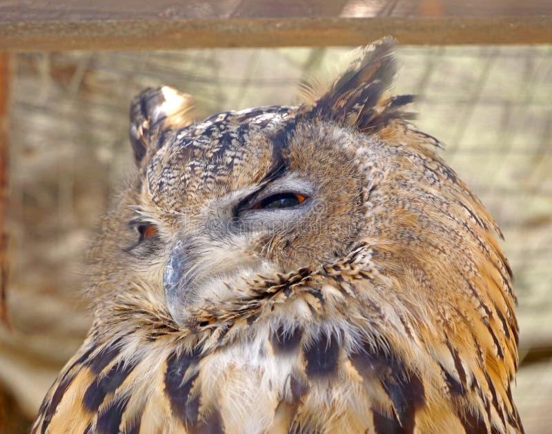 Siberian сыч орла стоковое фото