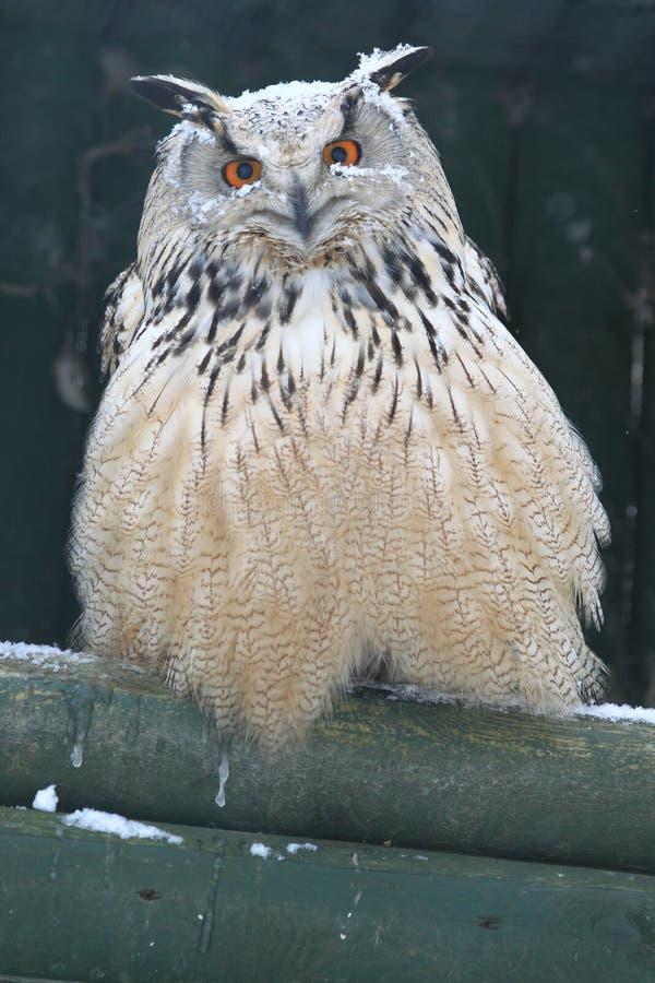 Siberian сыч орла стоковые изображения rf