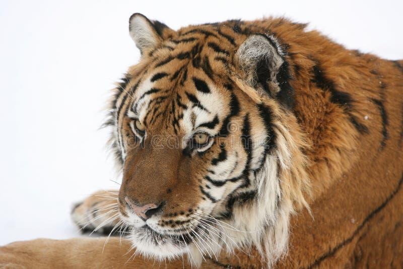 siberian тигр снежка стоковые изображения rf