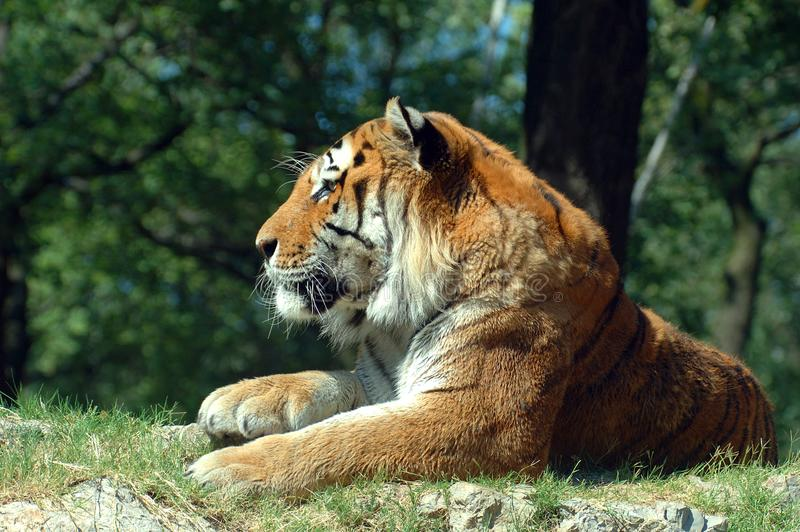 Siberian тигр Бесплатное Стоковое Изображение