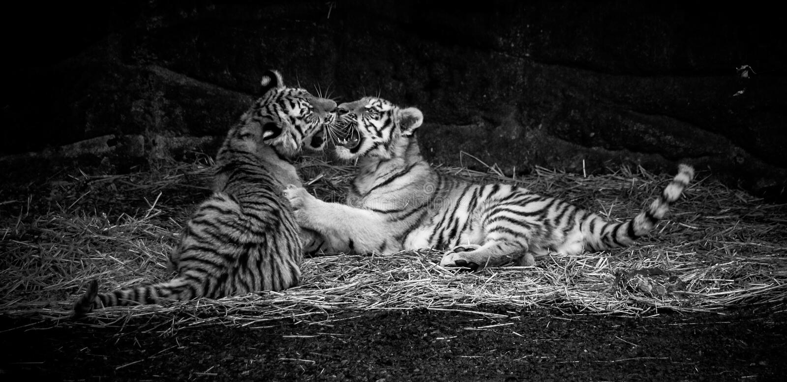 Tiger Cubs. Siberian Amur tiger cubs play fighting in black and white royalty free stock photo