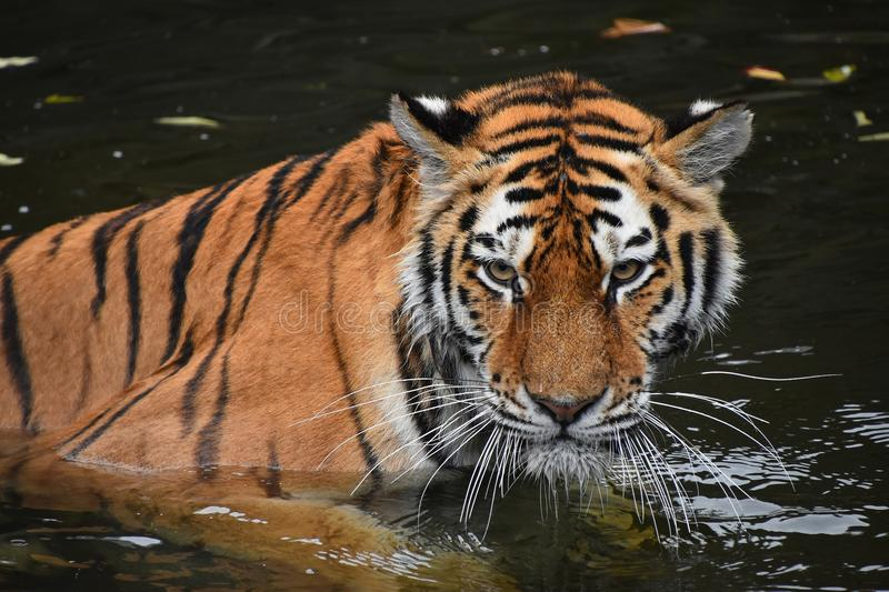 Siberian Amur tiger swimming in water stock photography