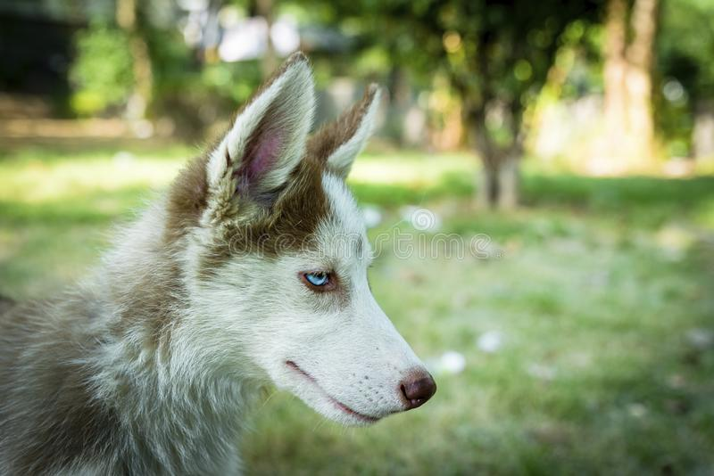 Siberian Beautiful Husky Puppy. Cute blue eyed siberian husky puppy watching round stock photo