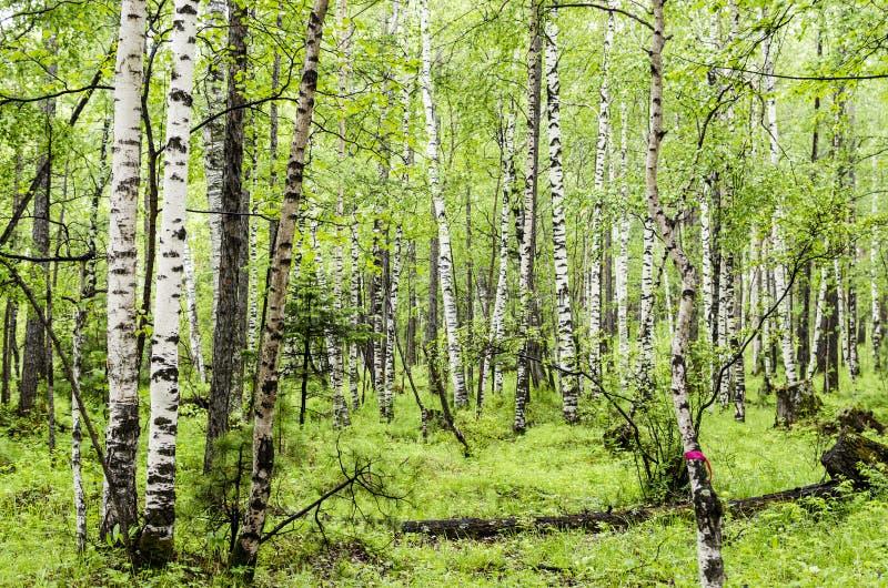 Siberian björkskog i den Arshan regionen av Buryatia arkivfoton