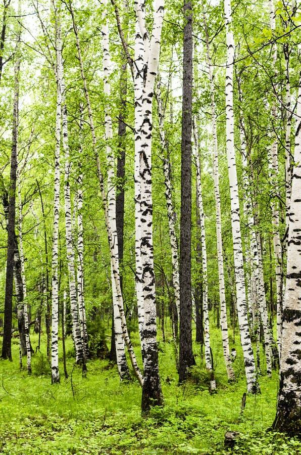 Siberian björkskog i den Arshan regionen av Buryatia arkivbild
