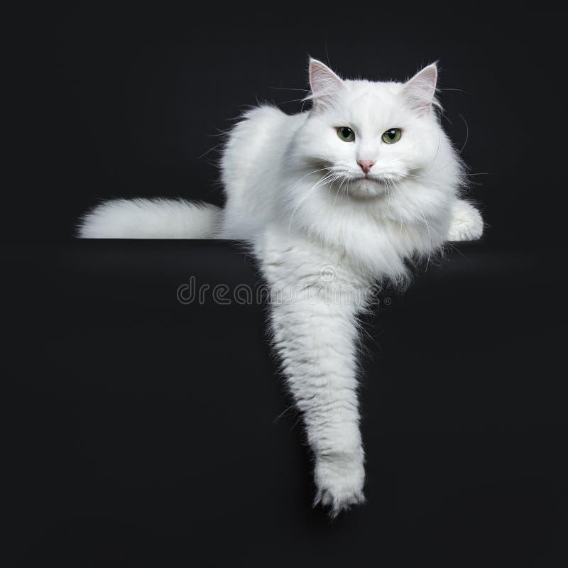 Siberian branco contínuo no fundo preto fotografia de stock