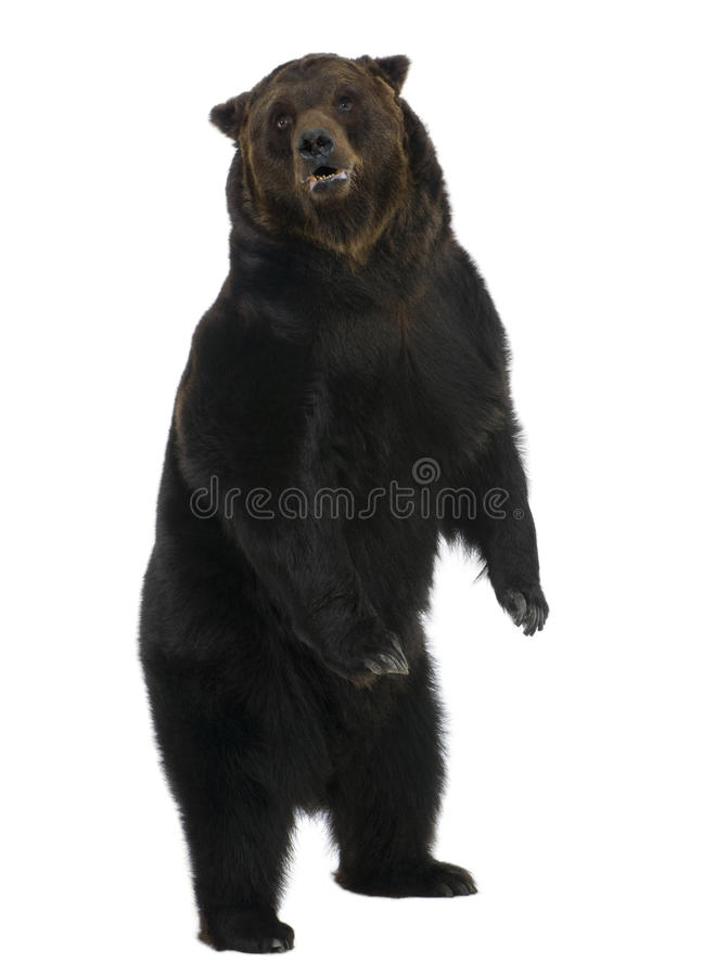 Siberian Brown Bear, 12 years old, standing royalty free stock photo