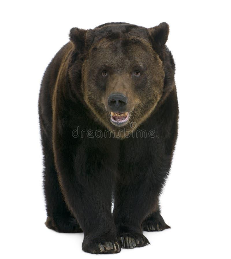 Siberian Brown Bear, 12 Years Old, Walking Stock Photos