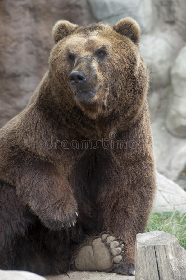 Download Siberian Brown Bear stock image. Image of siberian, omnivore - 42579077