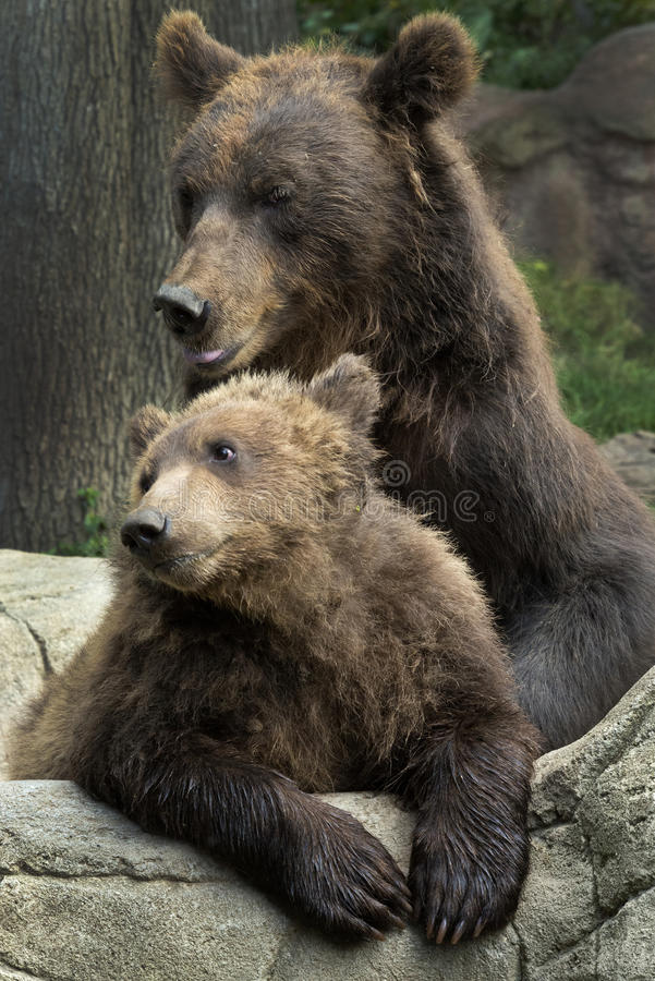 Siberian Brown Bear royalty free stock image